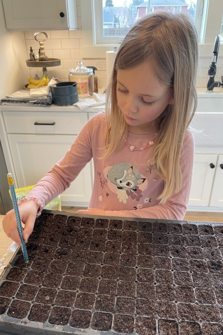 sowing dahlia seeds to grow dahlias. growing dahlias from seed