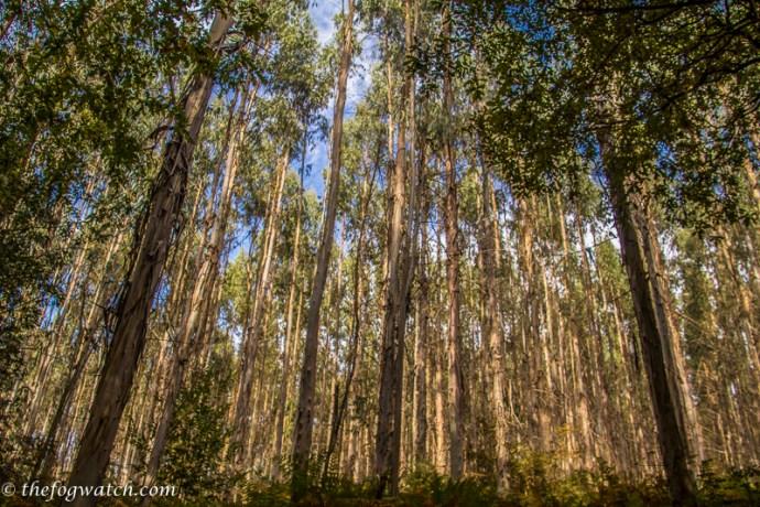 Eucalyptus forest in Spain