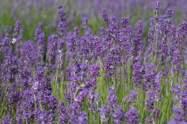 Mayfield Lavender Farm