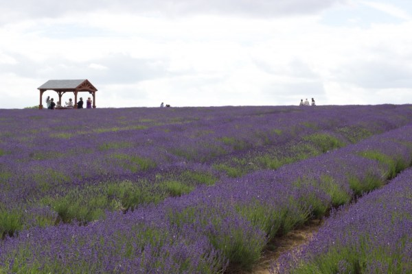 mayfield_lavender_farm