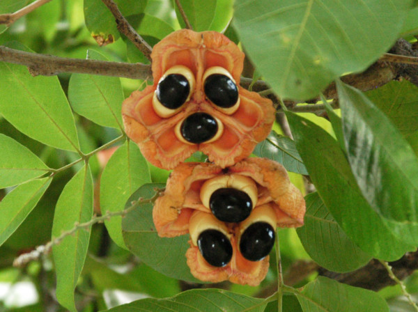 Top 15 exotic fruits - #4 Ackee