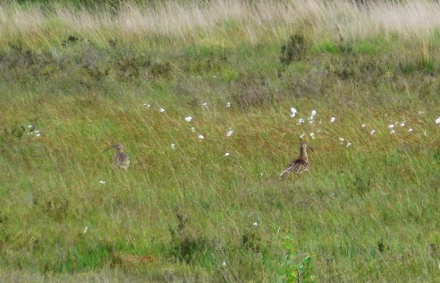 distant shot of the curlews