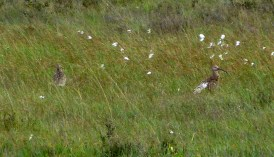 Curlews in the mire. Full zoom on my camera so not great quality.