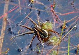 Dolomedes fimbriatus at Thursley in June.