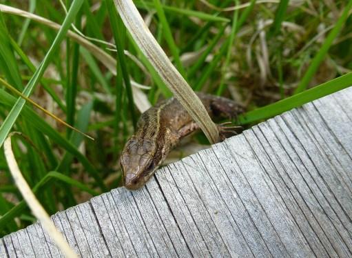 common lizard on boardwalk