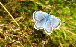 butterfly_on_heather