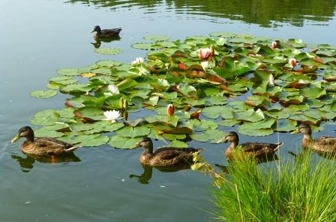 mallards and waterlillies