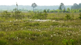 cottongrass in the mire