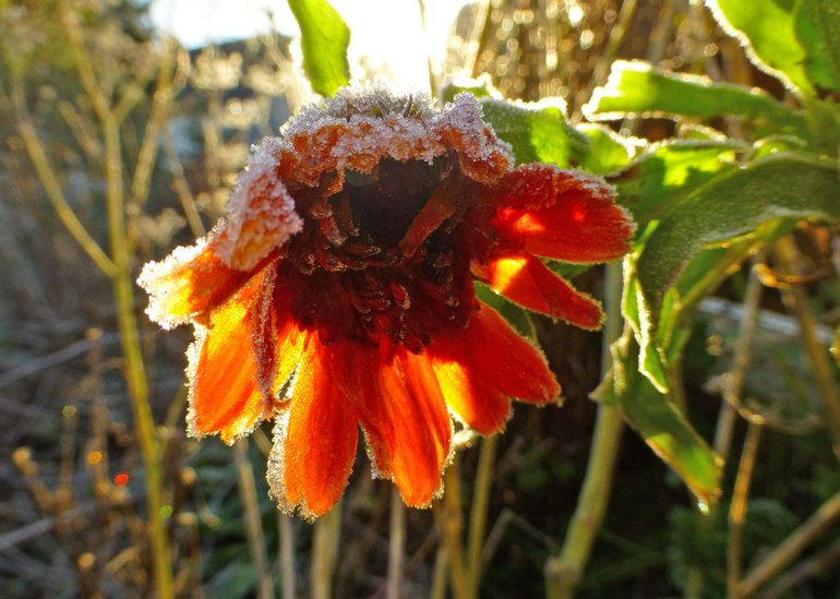 marigold_frost