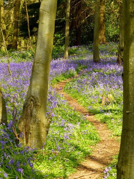 path_through_bluebells