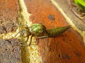 hawker_dragonfly