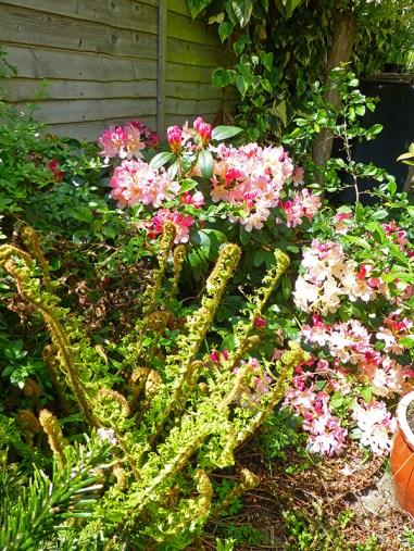 rhododendron_fern