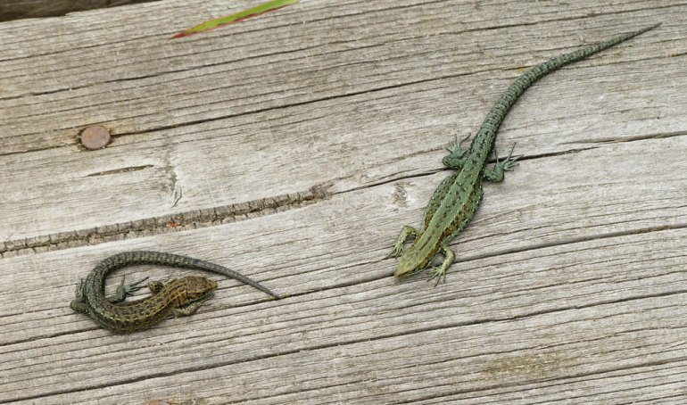 lizard_pair