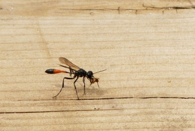 red banded sand wasp