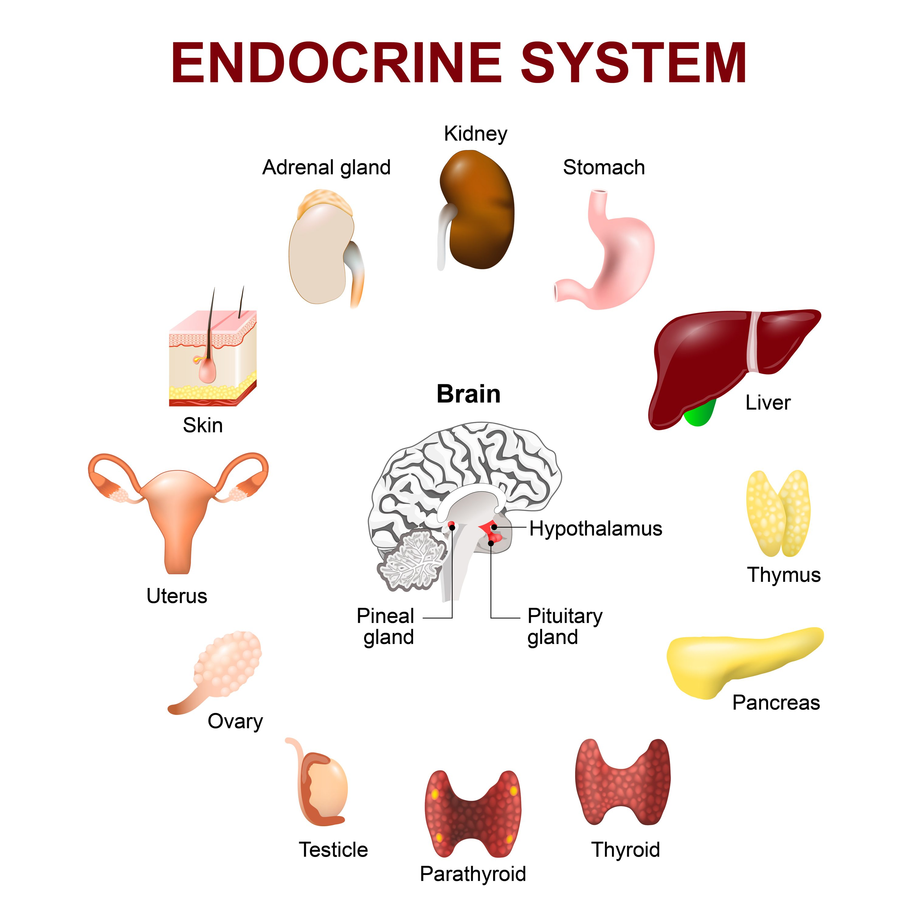 Endocrine System Form And Function