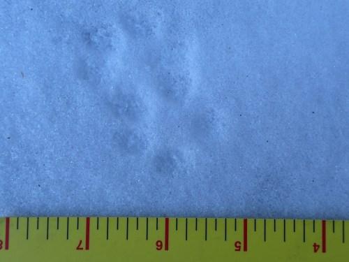 Grey Fox Tracks