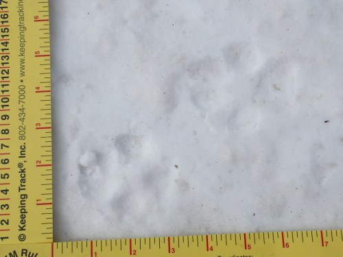 Wolf tracks!