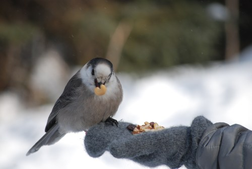 Grey Jay eating from the hand