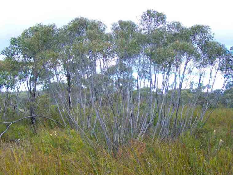 Eucalyptus_stricta_-_Woodford