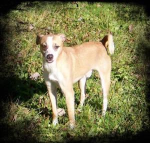 Foster Dog Failure #1: Pantera, young adult JRT/Min Pin mix