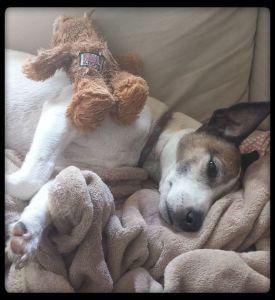 Jackyl - 10 yr old Jack Russell Terrier
