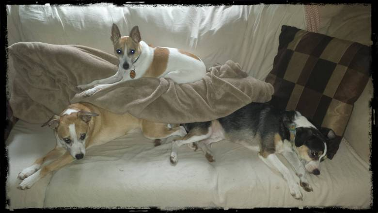 Foster Dog Failures, young adult Jack Russell Terrier Mixes