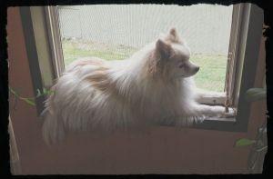 Woobie, 9 yr old Pomeranian