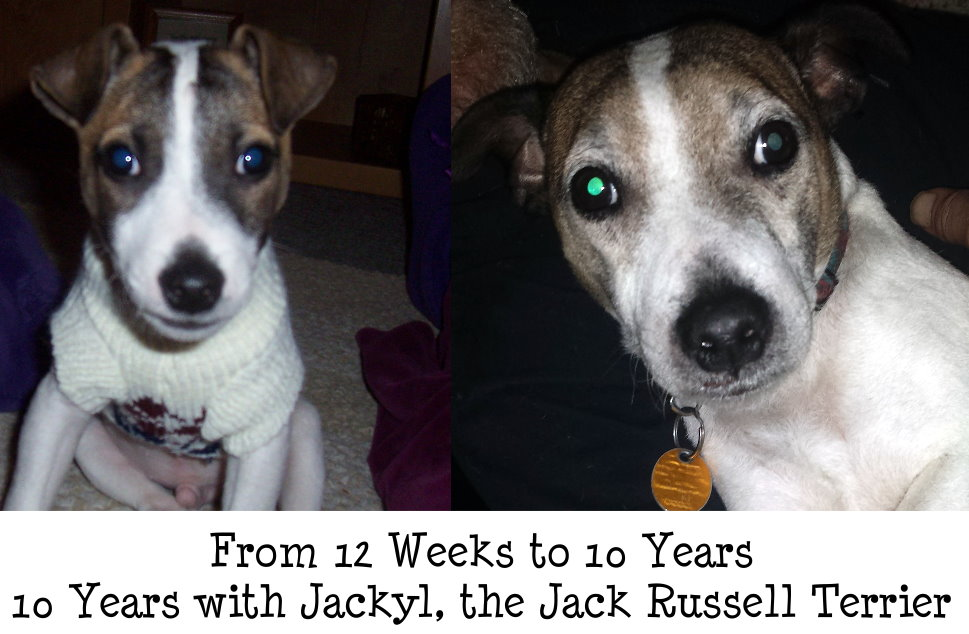 Jackyl, from 0-10 years, The Jack Russell Terrier
