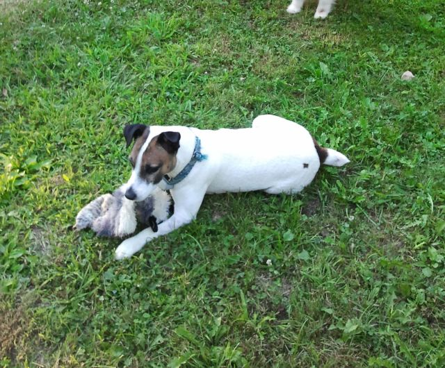 Jackyl, 6 years, The Jack Russell Terrier