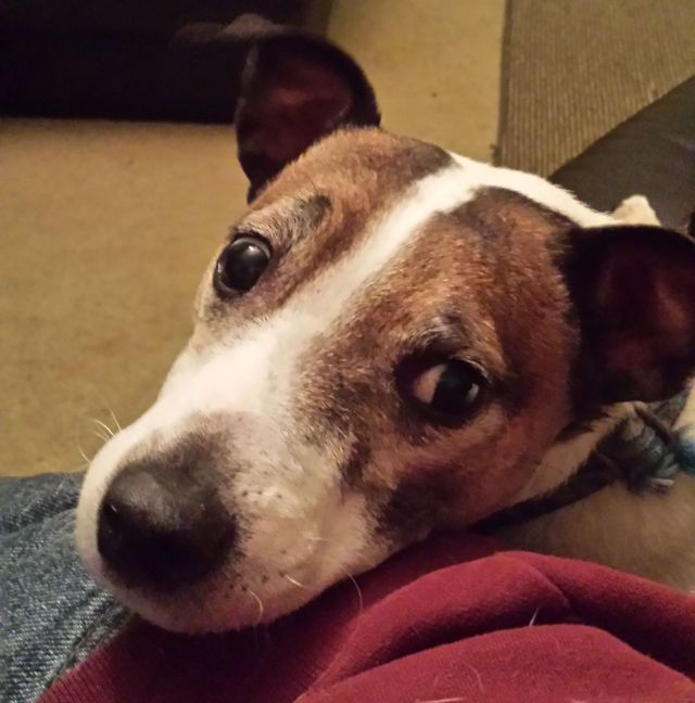 Jackyl, 8 years, The Jack Russell Terrier
