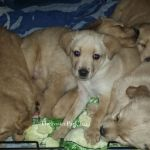 6 wk old Foster puppies