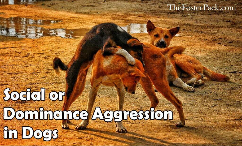 Social or Dominance Aggression in Dogs