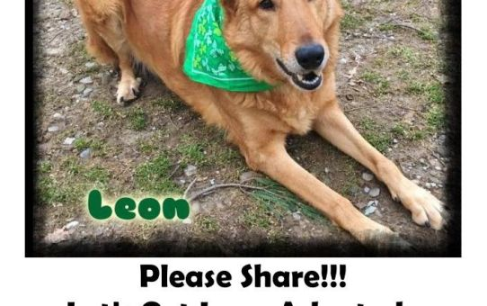 Let's Get Leon Adopted: 3 yr old Belgian Shepard, Sheepdog, German Shepard mix