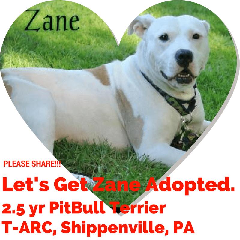 Zane, 2.5 yr old PitBull Terrier