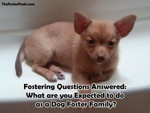 Fostering Questions: What are you Expected to do as a Dog Foster Family?