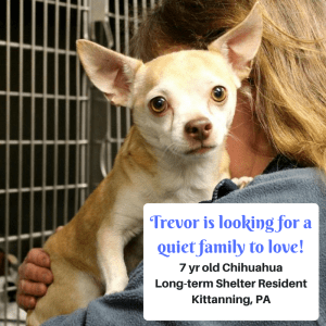 Trevor, 7 yr old Chihuahua, looking for a quiet family to love!