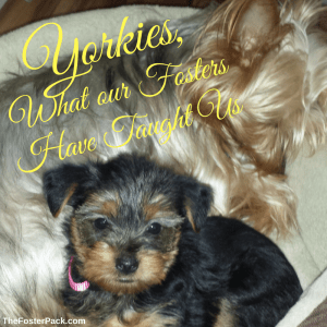 Yorkies, What our Fosters have taught us.
