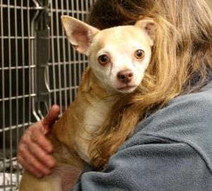 Trevor, 7 yr old Chihuahua, looking for a quiet home