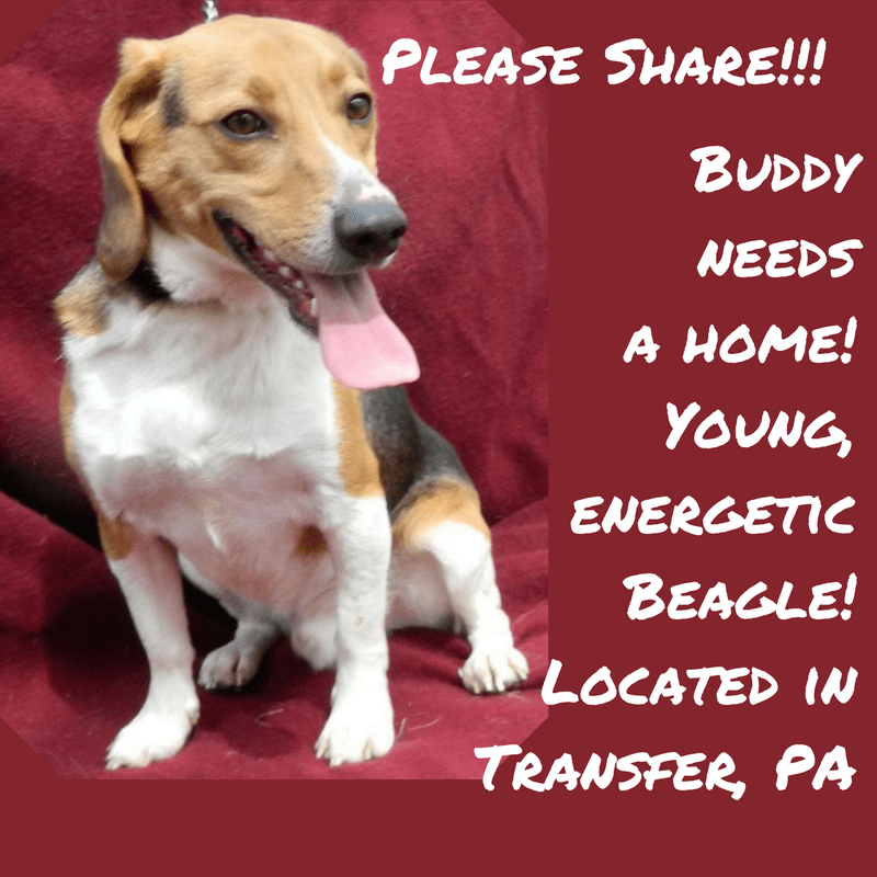 Buddy needs a home! Young, energetic Beagle! Transfer, PA
