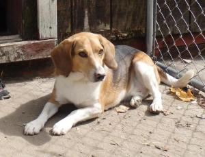 Buddy, a young, energetic Beagle looking for the perfect home!