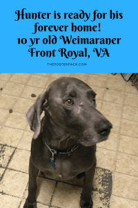 Hunter is ready for his forever home! 10 yr old Weimaraner