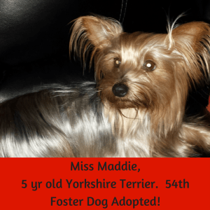 Miss Maddie, 5 yr old Yorkshire Terrier. 54th Foster Dog Adopted!
