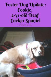Cookie 2 yr old Deaf Cocker Spaniel