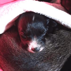 Little Bean 3 wk old foster puppy