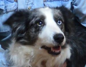 Angel, Senior Border Collie