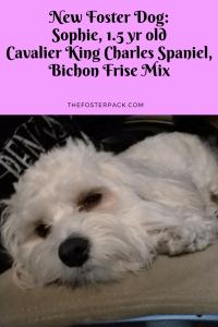 Sophie, 1.5 yr old Cavalier King Charles Spaniel, Bichon Frise mix