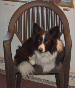Shawn, 7 yr old Border Collie