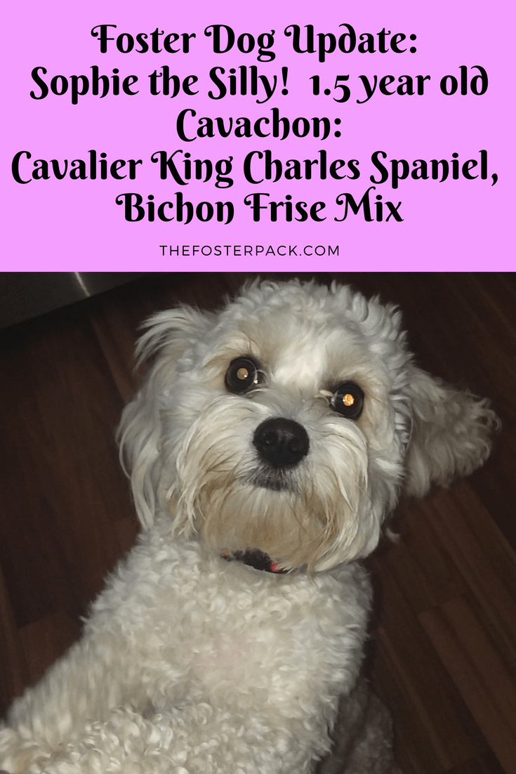 Foster Dog Update: Sophie the Silly! 1.5 year old Cavachon » The Foster Pack