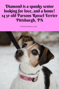 Diamond 14 yr Parsons Russel Terrier