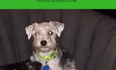 Foster Update: Ryder Adopted! Yorkie Schnauzer Mix